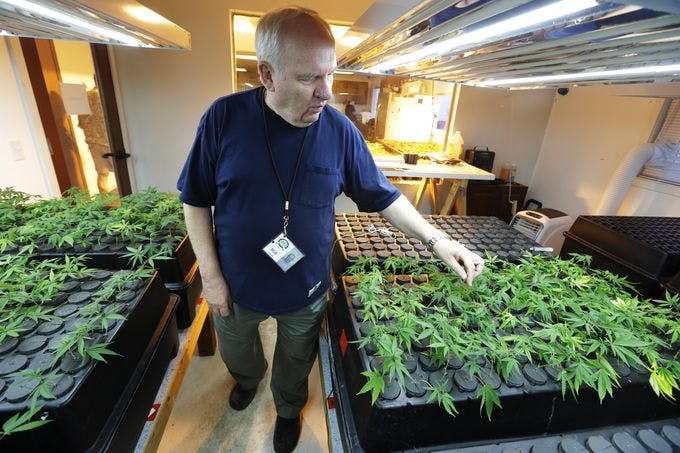 In this July 1, 2014, photo, Bob Leeds, owner of Sea of Green Farms, a recreational pot grower and processor in Seattle, inspects small