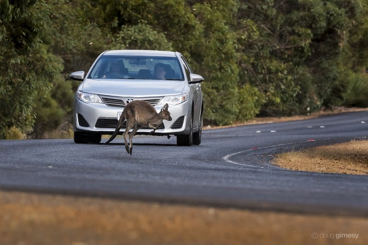 Kangaroos often jump out from the roadside bush into oncoming traffic. Fortunately in this instance, the car had been travelling relatively slowly, and had time to brake and allow the kangaroo to escape unharmed.
